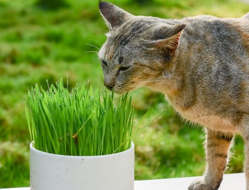 Catnip vs. Cat-grass for our felines